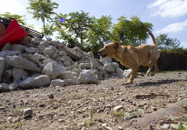 Jake, a 9-month old Labrador, runs through a training exercise for search dogs at the University of Pennsylvania Working Dog Center in Philadelphia on September 20, 2013. (David M. Warren/Philadelphia Inquirere/MCT)